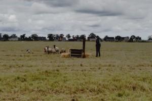 Voorrondes WK schapendrijven op LogistiekPark A12 in Waddinxveen